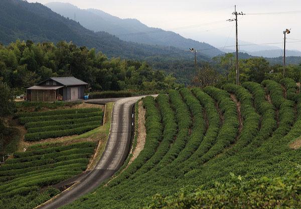 塩入地区の茶畑 つぼみ多く今から咲くなり・・