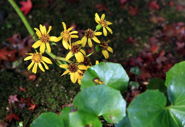 国分寺 鷲峰寺のツワブキの花