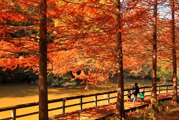 森林公園のメタセコイヤの黄葉は太陽に照らされ黄金色に染まっている