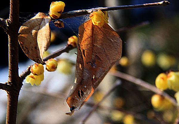 枯葉を開けるとてんとう虫が2匹 眠っていた ・・