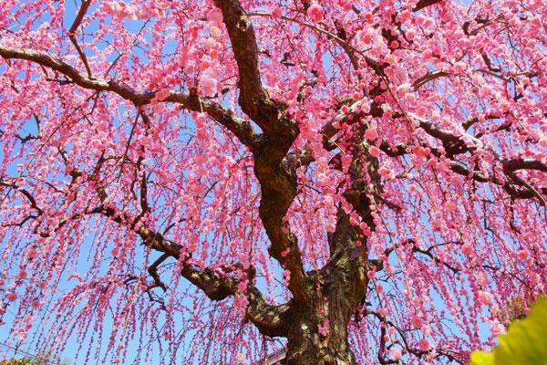 財田 農家の庭の枝垂れ梅 すぐ前の市道まで香ってくる