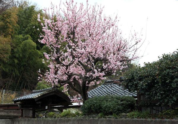 門構えの庭に空高く咲いて家の格調をあげている