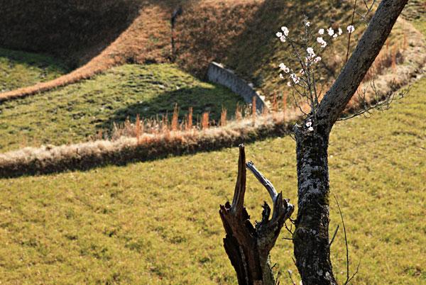 人の入らない田んぼはすぐに荒れてゆく 梅の木も弱って少しの花しか咲かない・・