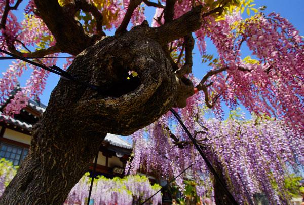 藤の花の下から空を見上げると紫色だった・・