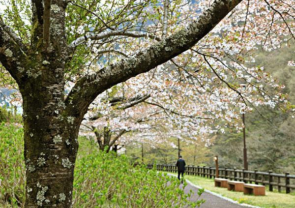 桜さくらと持てはやされた桜も落花 土に帰る・・