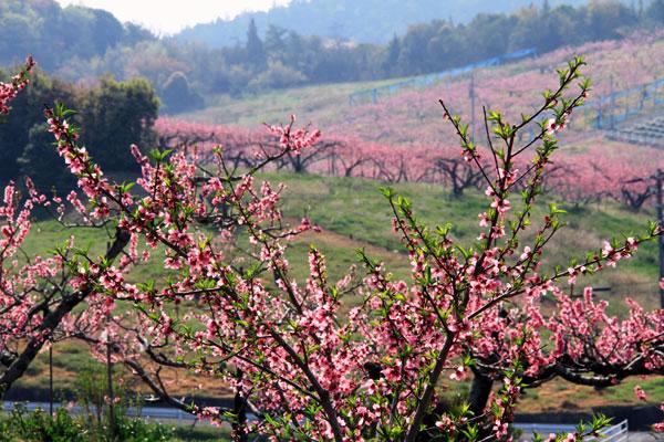 讃岐富士の麓は桃の花で一杯 ・・・