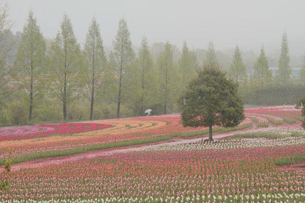 雨降り霧の中75万本の花 ・・