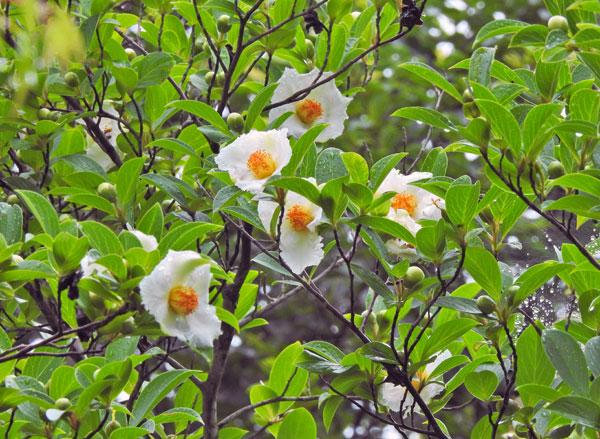 まんのうの寺 西念寺には今年も咲いてくれました 緑濃い庭に ・・