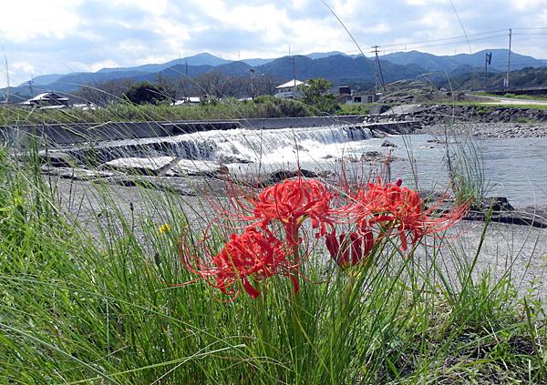 土器川上流の河原 赤いまんじゅうしゃげが ・・