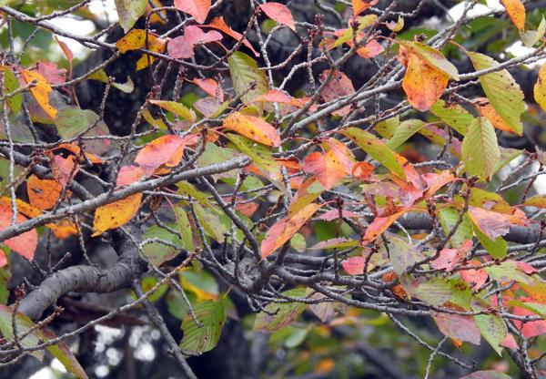 桜葉は早くから枯れ散る 寂しさを感じる ・・