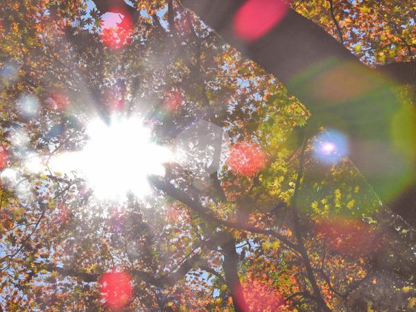 秋の太陽がもみじを照らし眩しいばかり・・ ・・・