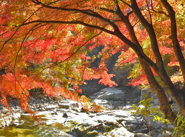 奥津渓谷は紅い紅葉の盛りなり