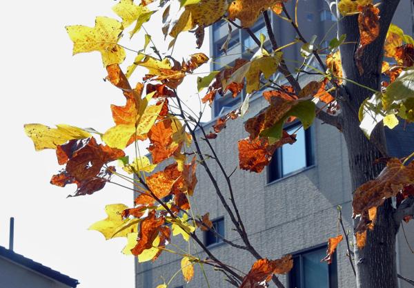 うす枯れのプラタナスの葉西日に透けて黄金色・・