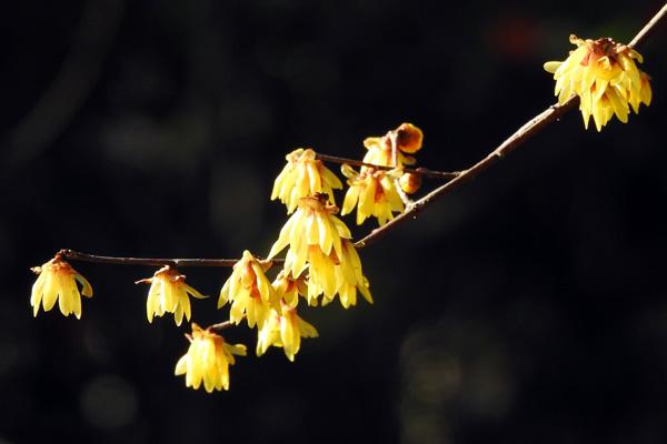森林公園で花一番に咲く シュウユユ