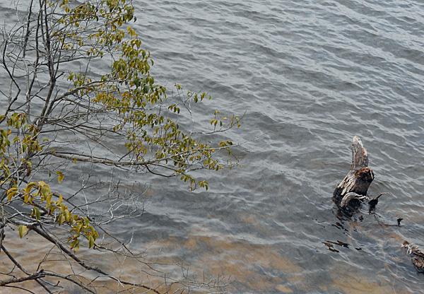 穏やかなまんのう池にカイツブリが悠々と波間に漂い ・・