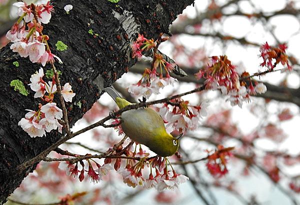 寒桜 上になり下になり競って蜜を吸うメジロ ・・