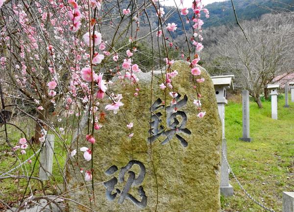 西行の道 崇徳院の鎮魂の桜・・
