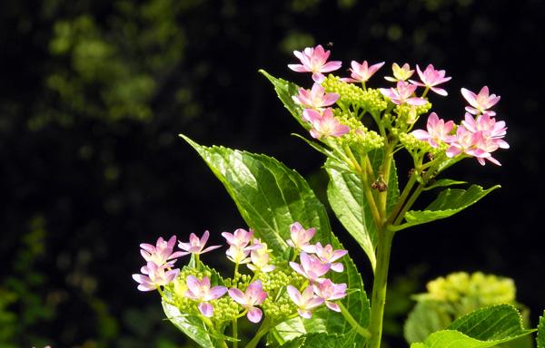 番の州公園には新種のアジサイが植えられている