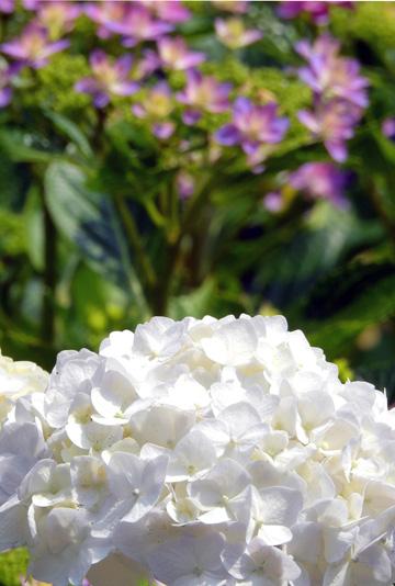 今年も柔らかく優雅に咲いてくれた花菖蒲・・