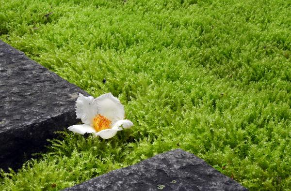 まんのう町 西念寺 万緑の庭に真っ白な夏つばき・・