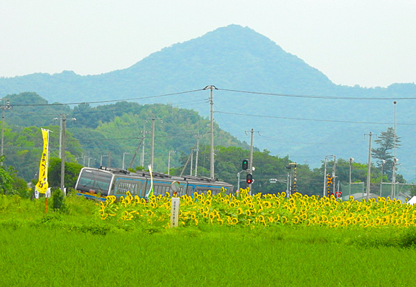 JR塩入駅付近は黄色の花 ヒマワリの畑 ・・