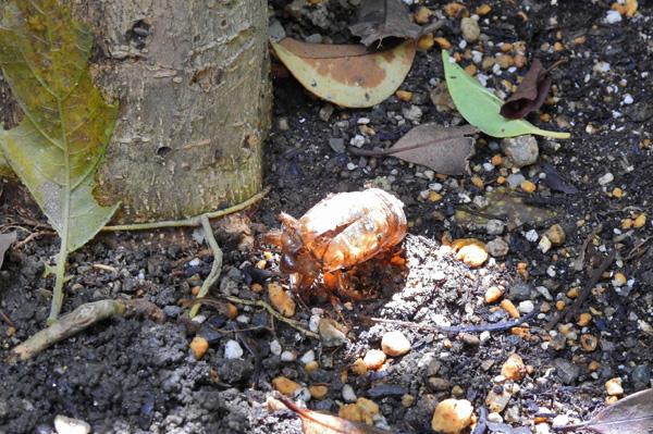雨上がり湿った土から這い出て しばらく近くの木の根っこで ・・