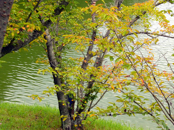府中湖の沢山ある木々の一部では色づき始め 秋はじめて・・