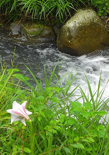 県境の小さな谷間に山ユリの花が咲き ・・