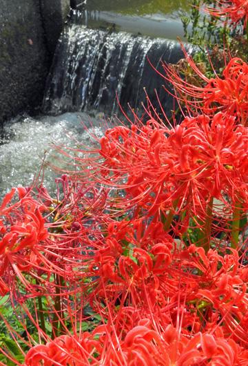 水路の小さな滝に映る燃える赤 ・・ヒガンバナ