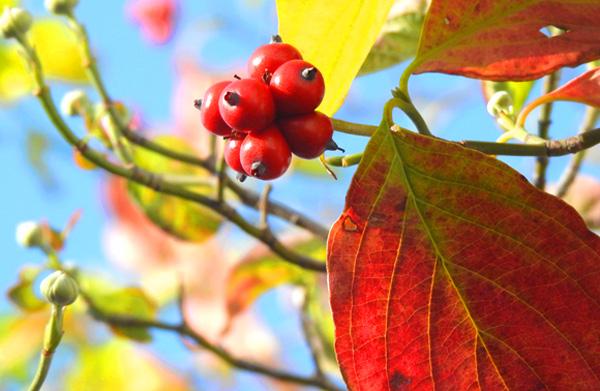 裏町の通りに赤くハナミズキの実と葉っぱが熟している